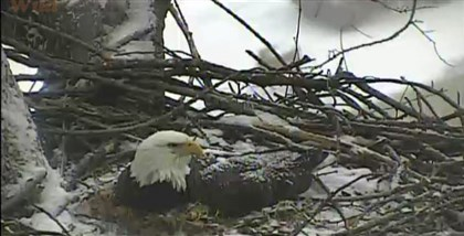 Nest cam A screengrab from the National Aviary's nest cam