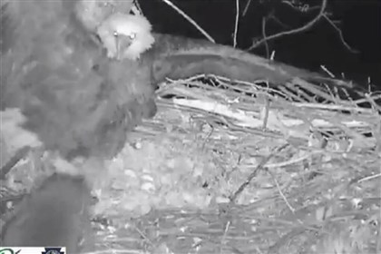 Hays bald eagle vs. raccoon In this screenshot from night-camera footage, a raccoon goes after the eggs belonging to the Hays bald eagles.