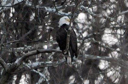 Male bald eagle in Hays The male bald eagle in the trees along the hillside above East Carson Street near Hays.