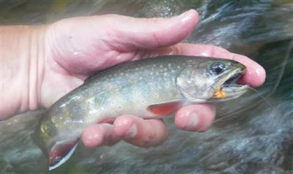 Brook trout Brook trout