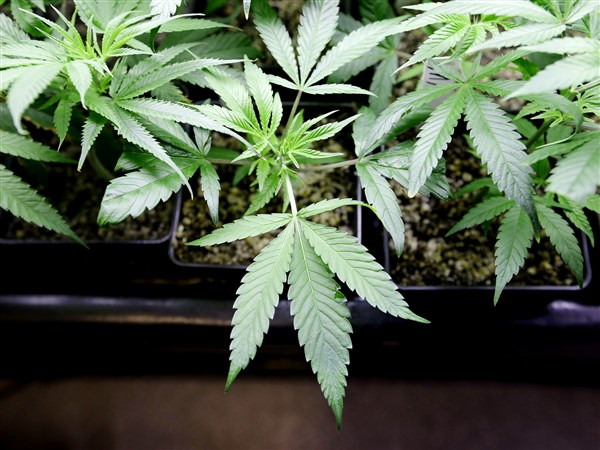 issue on marijuana essay