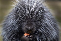 Irwin, the resident North American porcupine at Humane Animal Rescue's Wildlife Center in Verona, has an afternoon snack.
