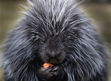 Irwin, the resident North American porcupine at the Animal Rescue League Shelter & Wildlife Center in Verona eats an afternoon snack.