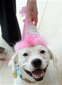 Julie Abramovic of Fairmont Pittsburgh put a birthday hat on Edie as she celebrated her fifth birthday Friday. Edie is a boxer/Labrador retriever mix who works five days a week at the Downtown hotel greeting visitors and escorting guests on walks. The birthday party benefited Animal Friends, a nonprofit companion animal resource center in Ohio Township.