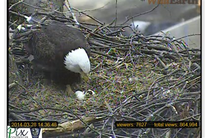 Hays eaglet hatch March 28 A view of the hatching eaglet in the Hays nest Friday around 2:40 p.m.