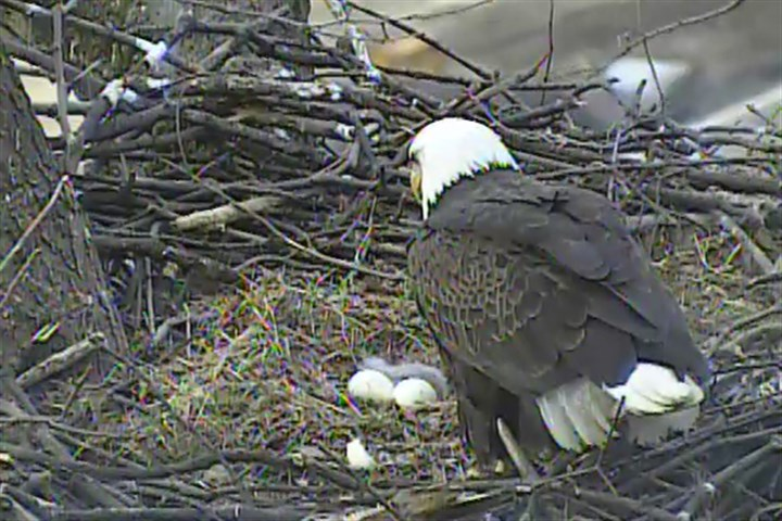 bald eagle chick A bald eagle chick sits in the nest with two other eggs while one of the adult eagles looks on in March 2014.