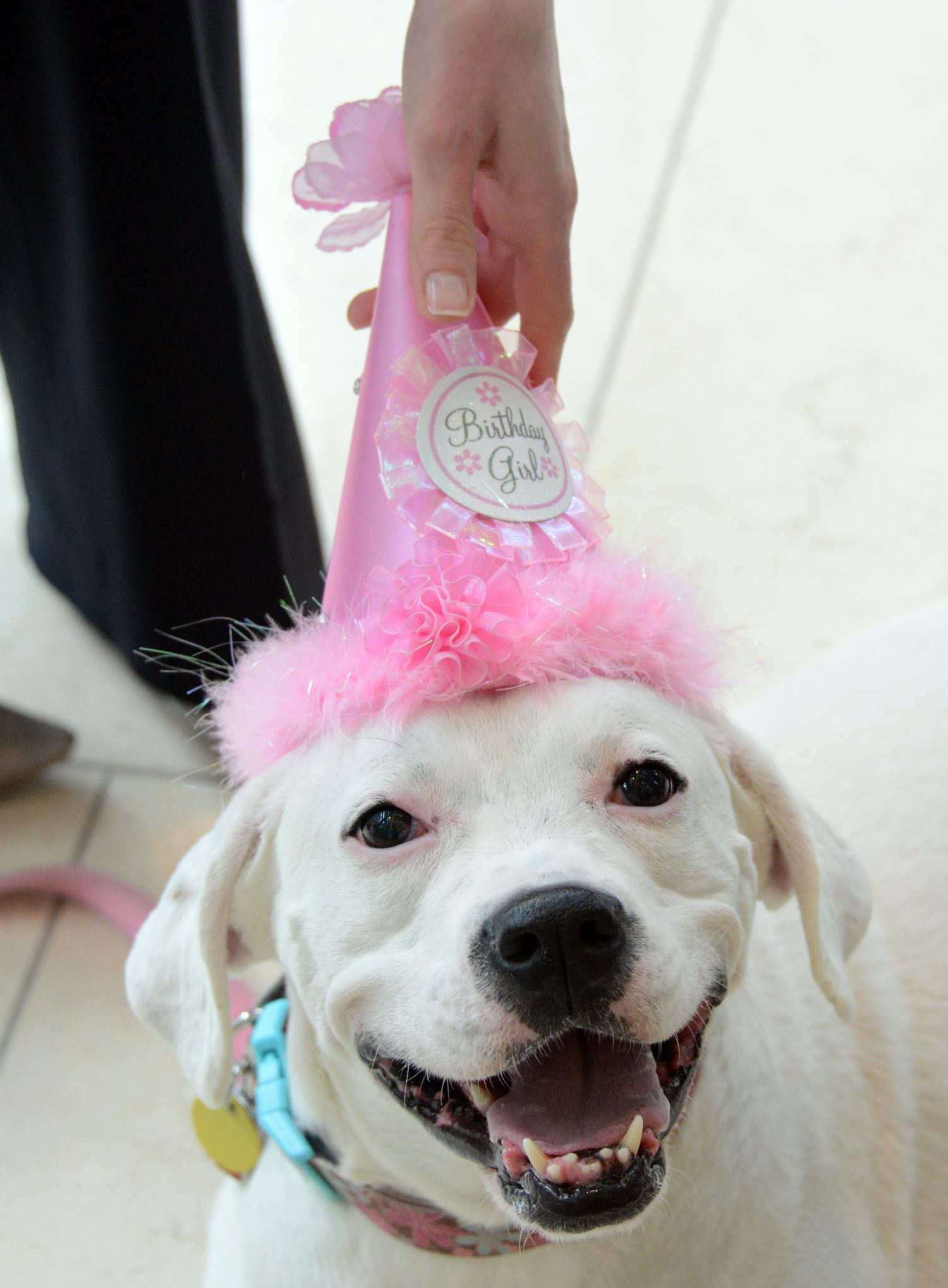 20140328lfDogLocal01 Julie Abramovic of Fairmont Pittsburgh put a birthday hat on Edie as she celebrated her fifth birthday Friday. Edie is a boxer/Labrador retriever mix who works five days a week at the Downtown hotel greeting visitors and escorting guests o