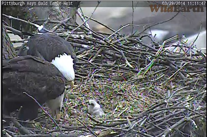 Eaglet feeding, March 29 The pair of bald eagle parents feed their eaglet Saturday afternoon.
