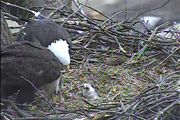 Eaglet feeding, March 29 The pair of bald eagle parents feed their eaglet Saturday afternoon, March 29, 2014.