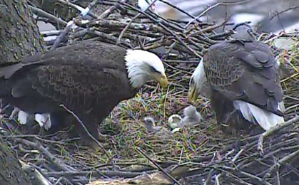 Eaglets feeding The eaglets are fed Sunday afternoon. The second one hatched this morning, according to the Audubon Society.