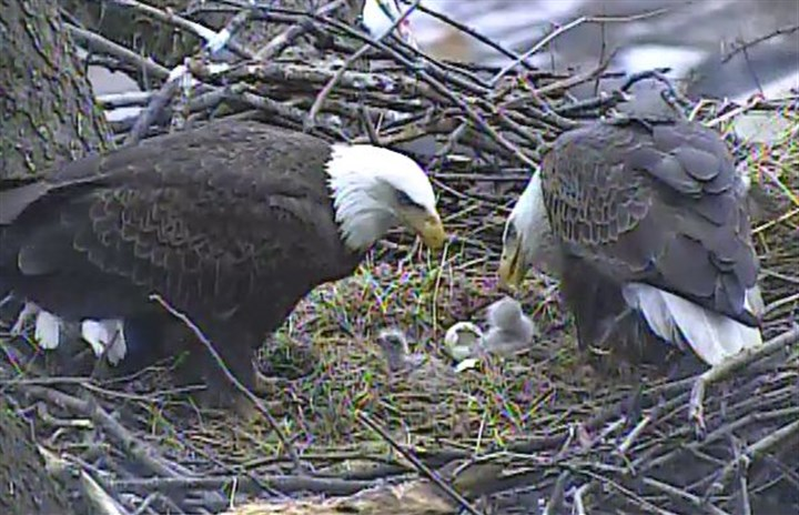 Eaglets feeding The eaglets are fed afternoon.