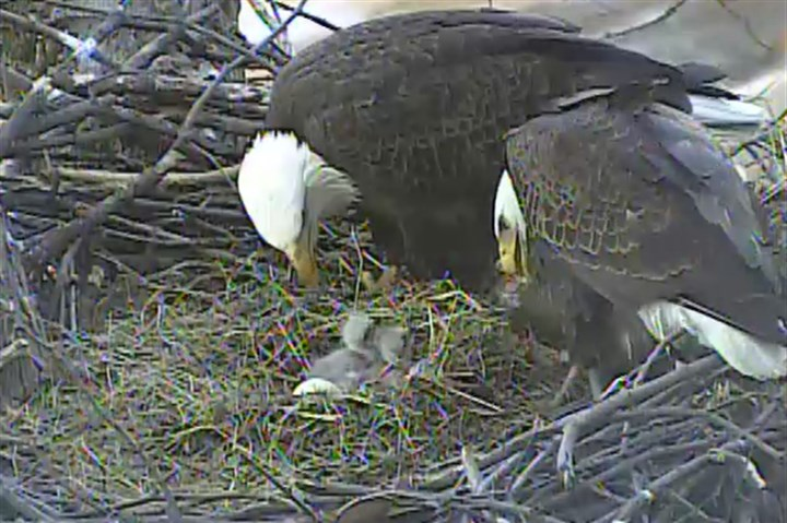 Two baby eagles Two adult eagles feed two of the hatched baby eagles. A third egg in the nest could hatch in 48 to 72 hours.