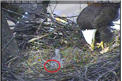 Third eaglet emerges A third eaglet, circled in red, more fully emerges from its egg shell early Wednesday evening.