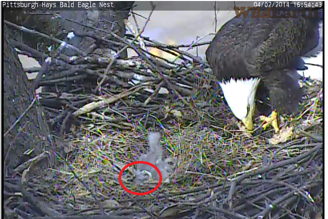 Bald Eagle Eggs submited images.