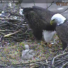 Bald eagle family dinner The Hays bald eagle family -- two adults and three eaglets -- eat a fish just before noon on April 4, 2014.