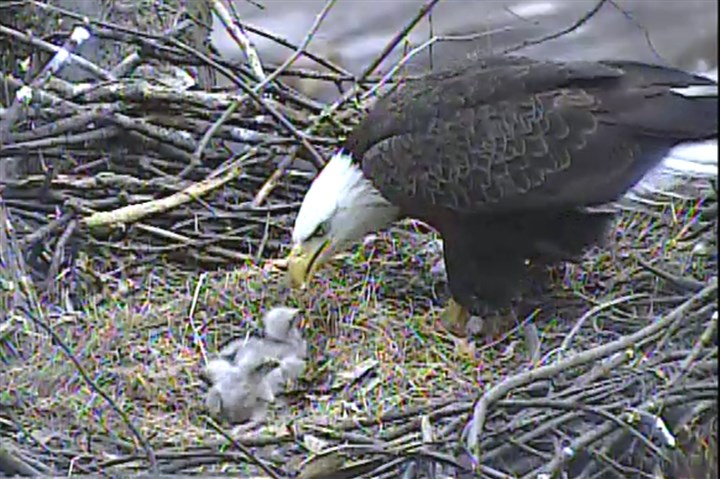 Bald eagle feeding time An adult bald eagle feeds its three eaglets in Hays on Thursday, April 3, 2014.