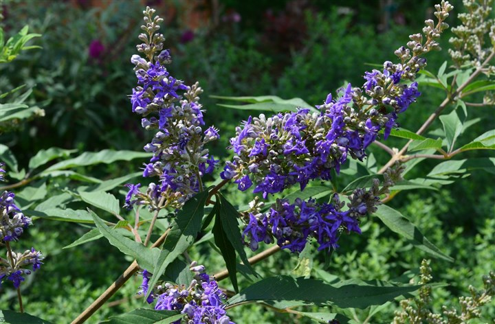 20140403DeltaBluesVitex  'Delta Blues' chaste tree (Vitex agnus-castus) is a new woody shrub developed by Matthew Dirr, Michael Dirr's son.