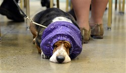 Ana, a 6-year-old basset hound, wearing a snood to keep her ears clean, naps Sunday while waiting her turn at the Western Pennsylvania Kennel Association dog show at the Monroeville Convention Center.