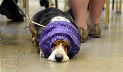 201445RARlocaldog4-12 Ana, a 6-year-old basset hound, wearing a snood to keep her ears clean, naps Sunday while waiting her turn at the Western Pennsylvania Kennel Association dog show at the Monroeville Convention Center.