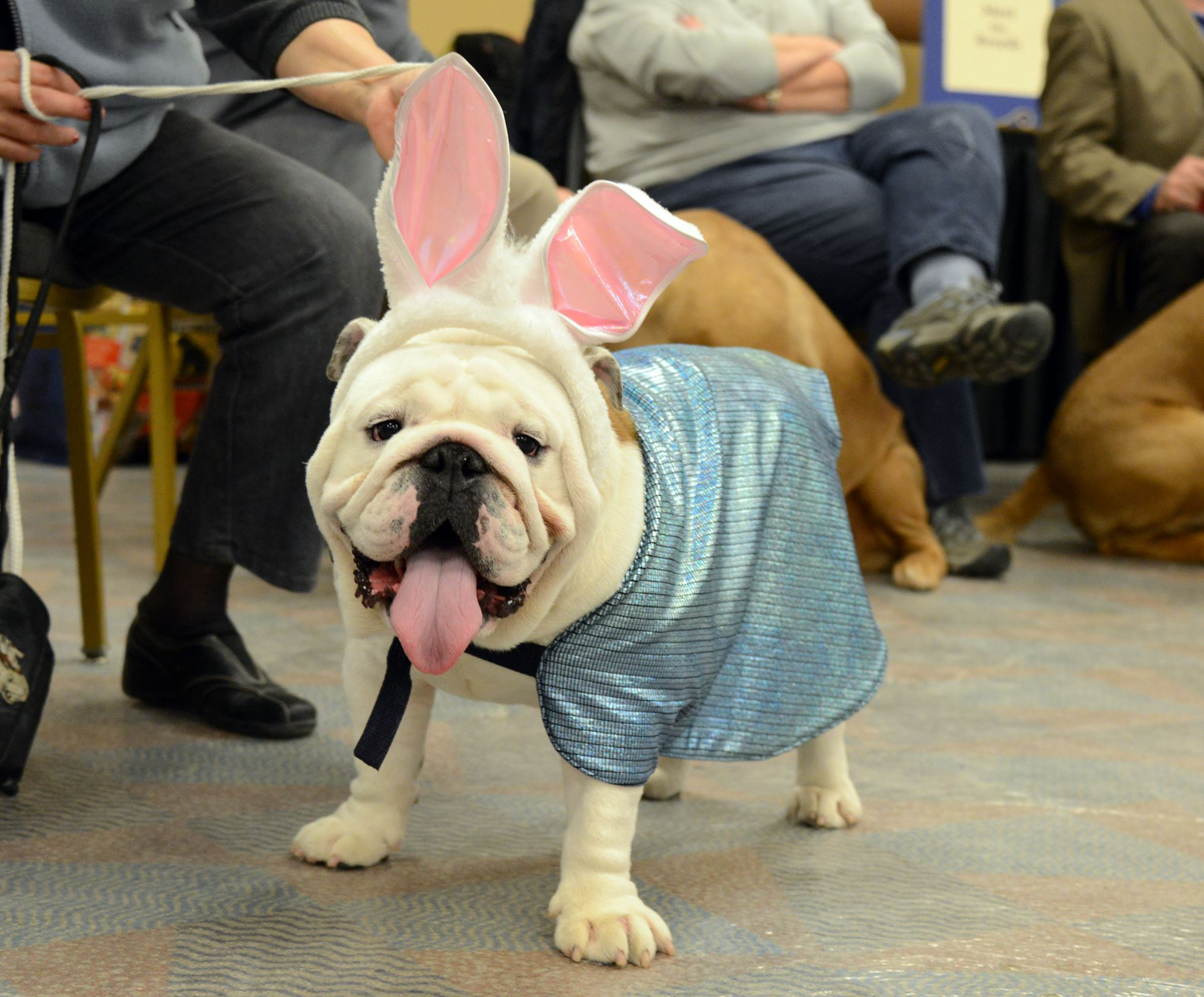 201445RARlocaldog1-9 Zorro, an 18-month old English Bulldog, wears her bunny ears as she takes a break from the show ring during the Western Pennsylvania Kennel Association dog show at the Monroeville Convention Center.