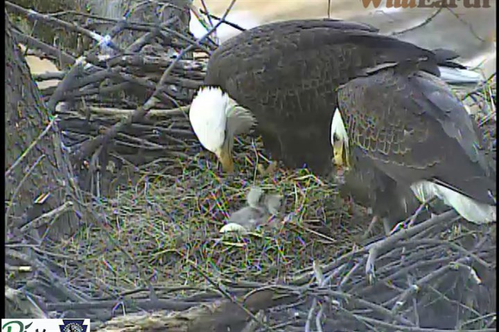 Bald eagles feeding The bald eagles in Pittsburgh's Hays neighborhood feed three eaglets in March 2014.