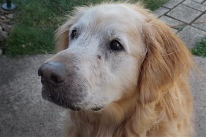 Gus Gus, the late golden retriever