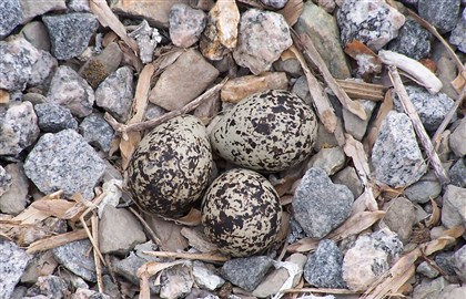 20140416AmyLangmanKilldeerEggs Killdeer bird eggs are camouflaged among rocks.