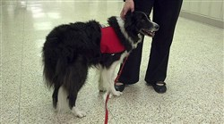 Jan K. Mayr's dog Piper at Franklin Regional High School. The 11-year-old border collie was one of the therapy dogs who helped students cope.
