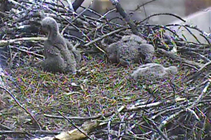 Bald eagle chicks without parents, Apr. 18 No babysitters needed -- the three Hays bald eagle chicks, seen here napping and relaxing Friday, Apr. 18, 2014, have been growing quickly.