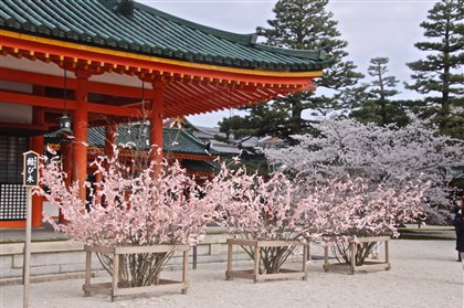 Heian Shinto Shrine in Kyoto, Japan Fortunes tied to look like cherry branches at the Heian Shinto Shrine in Kyoto, Japan.
