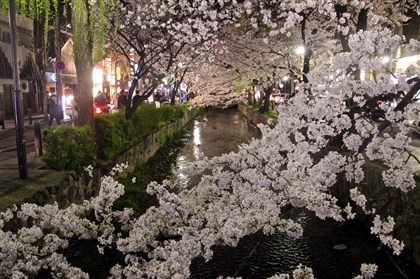 Cherry blossoms over canal in Kyoto A canopy of cherry blossoms over the canal in Kyoto.