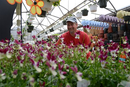 "Gardening 1 Matthew Hirsh, manager of Chapon's Greenhouses in Baldwin Borough, with ""Hip Hop Cranbunny"" violas."