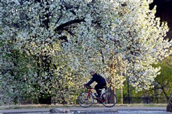 A bicyclist rides past a tree in Spring bloom along the trail in Riverfront Park on the South Side in 2014. The city's trees have been rated as good, but Tree Pittsburgh said there's plenty more work to be done.