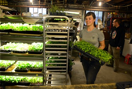Hannah Reiff, production manager at Garden Dreams Hannah Reiff, production manager at Garden Dreams, moves seedlings around in the basement of the apartment building where the plants begin their life. The heat from the pipes warms the basement for the plants.