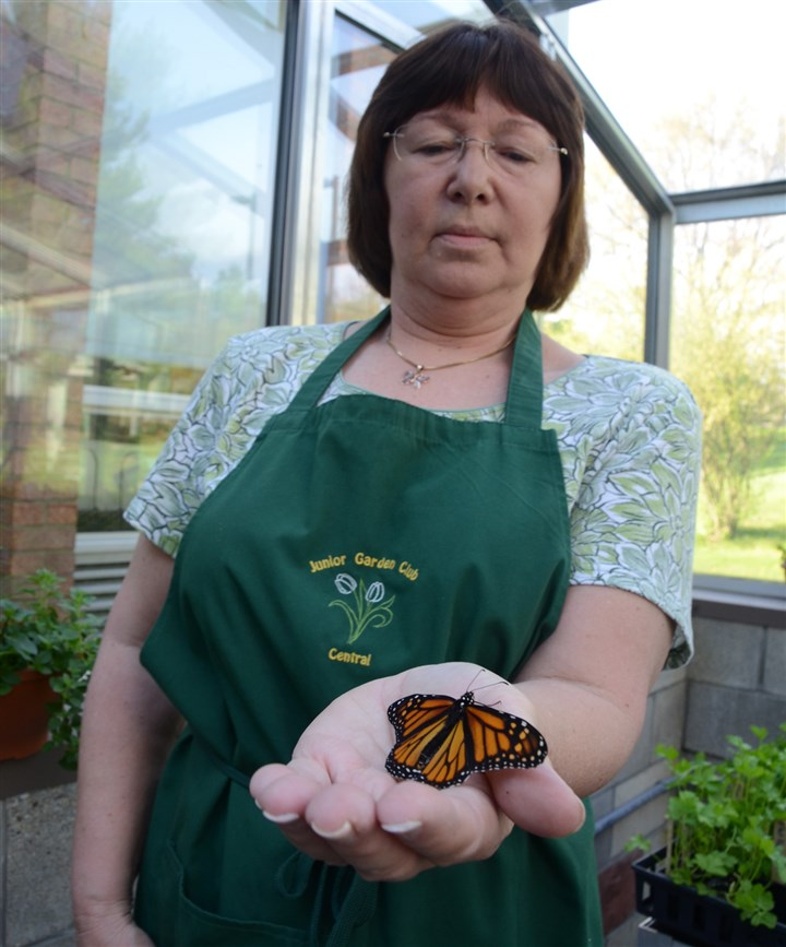 20140511dohomesmonarch1-8 June Bernard of Hampton holds a female monarch butterfly she hatched at home. Mrs. Bernard was in the greenhouse at Central Elementary School in Hampton where she helps with the Central Elementary Junior Garden Club.