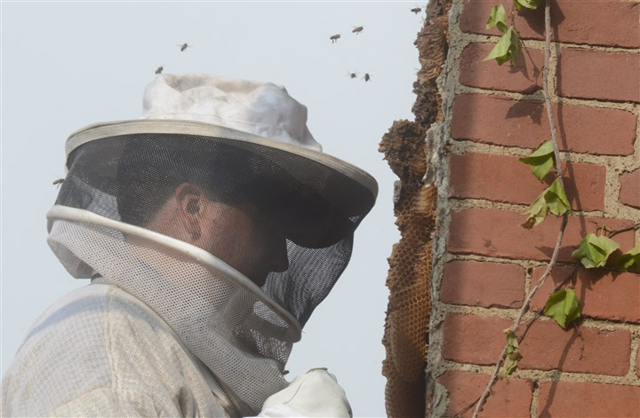 20140523dsBeesLoc07jpg Master bee keeper Stephen Repasky has bees hovering as he works at the Penn Brewery.