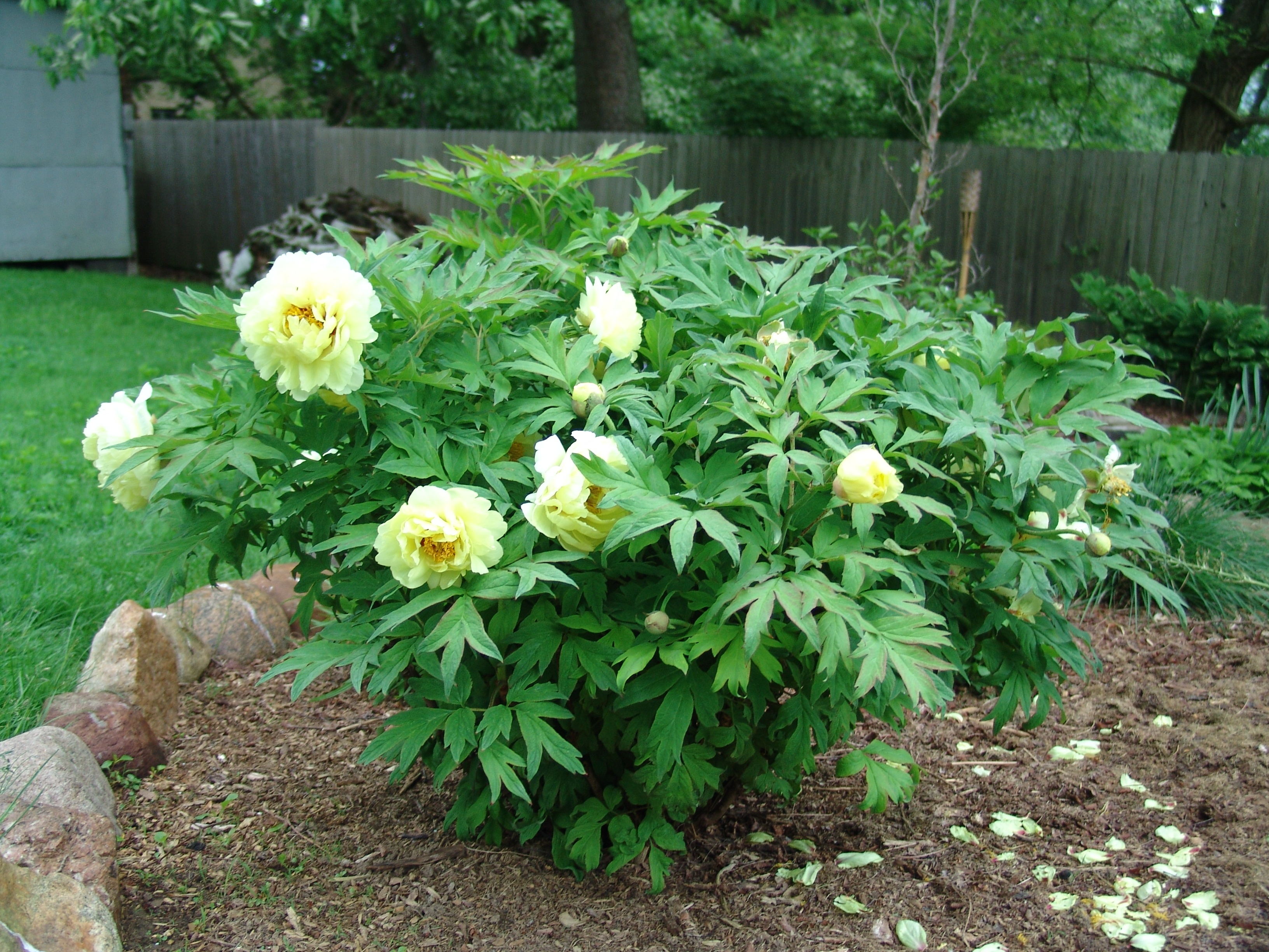 yellow tree peony this yellow tree peony was quick to leaf out and
