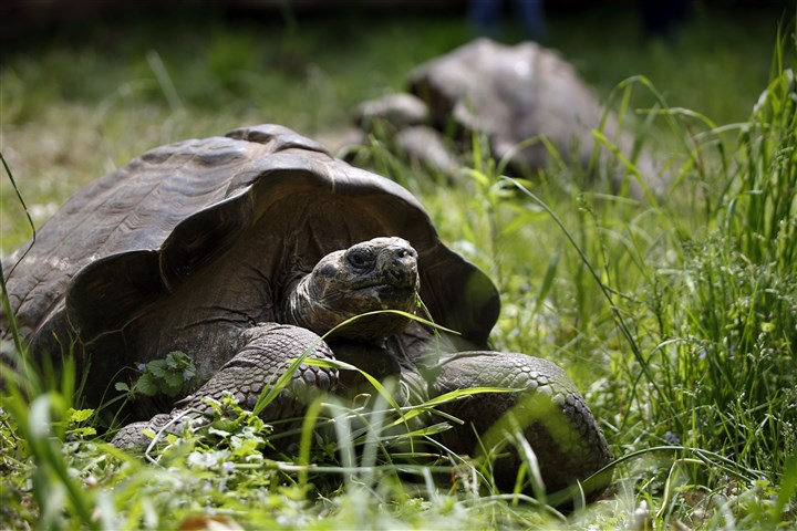 Pittsburgh Tortoises The 20-year-old Galapagos tortoises at the Pittsburgh Zoo are an inspiration to us all.