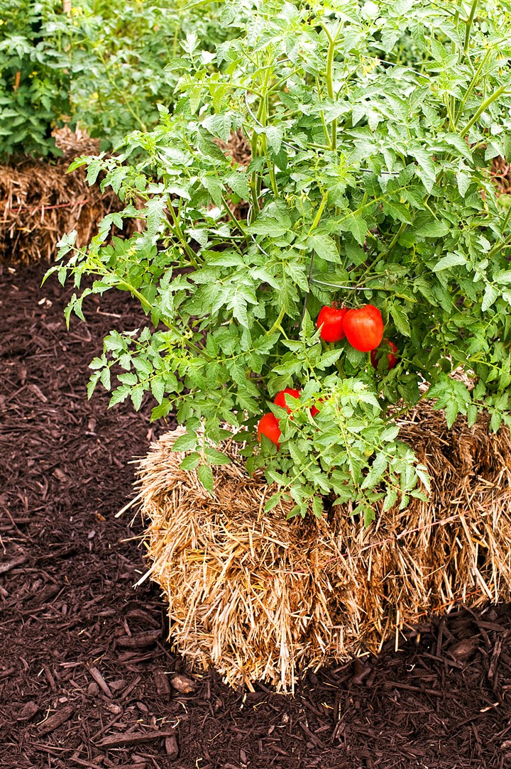 20140602dohomesstraw2-1 A tomato plant growing in a straw bale.