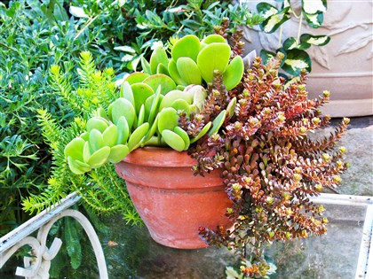Sedum Succulents in a container include Sedum rupestre 'Angelina,' paddle kalanchoe and red-leafed sedum.