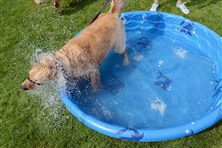 Bella, a 5-year-old golden retriever owned by Jamie Quinn of West View, cools off in a dog pool at the fifth annual Panera Pup Walk.