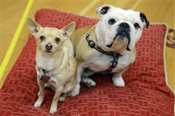 Chico, a chihuahua, and Nellie, an English bulldog, during an interview at the Benedum Center.