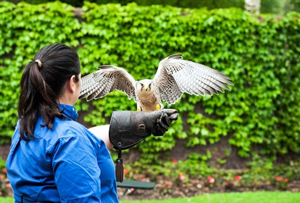 20140611HOFalconry Cathy Schlott of the National Aviary practices the art of falconry.