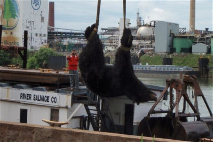 clairton_bear.jpg The Pennsylvania Game Commission trapped a bear on a barge on the Monongahela River and released it in Fayette County.