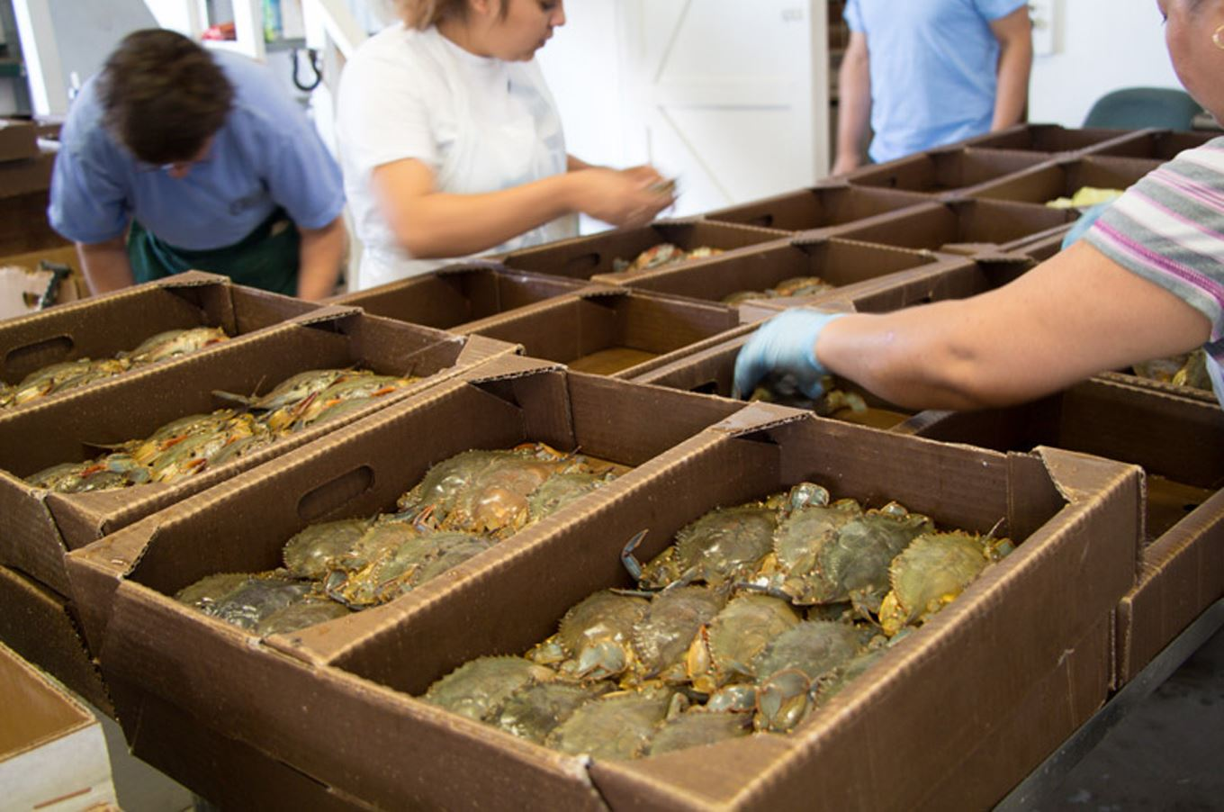 20140611hoseaharvest5543food Packing soft-shell crabs for shipping at O'Neals Sea Harvest in Outer Banks, N.C.