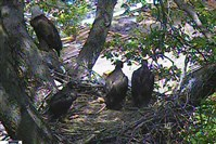 A screenshot from the bald eagle camera in Hays.