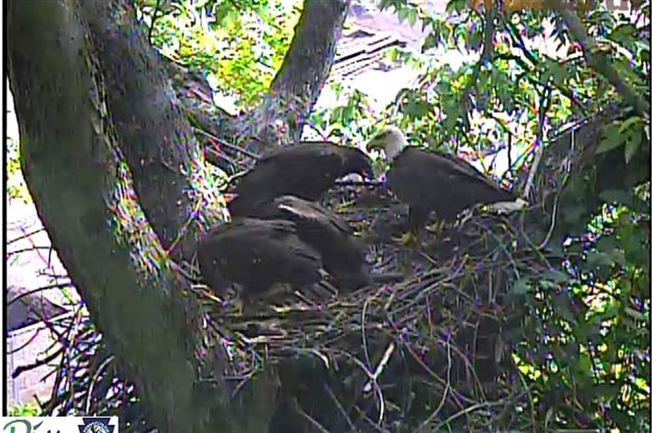 20140613hoLocEagle02-1 The Hays bald eagles in the nest in June 2014.