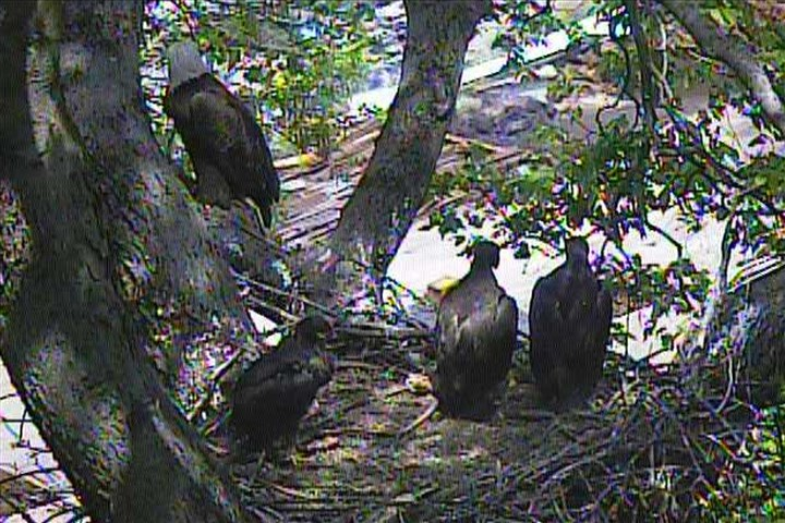 Hays Pittsburgh bald eagles nest The fledgling bald eagles in May 2014.