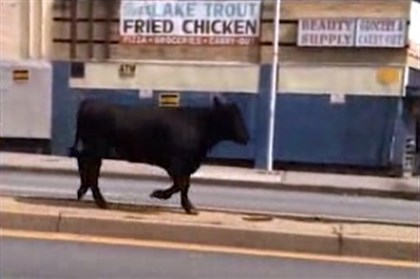 steer in baltimore And he's off ... A screen grab from a video shot by Robert Queen and posted by The Baltimore Sun.