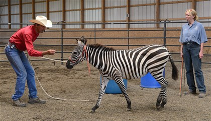 20140617radZebrasLocal02-1 Jessie Peters of Parelli Horse Training Group, left, shows Pittsburgh Zoo & PPG Aquarium keeper Kathy Suthard how to control one of the zoo's two new zebras at a horse farm in Indiana Twp.